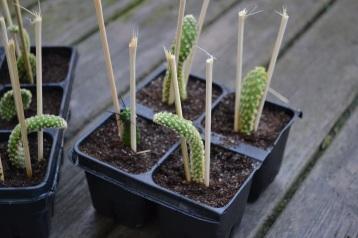 Første utplanting